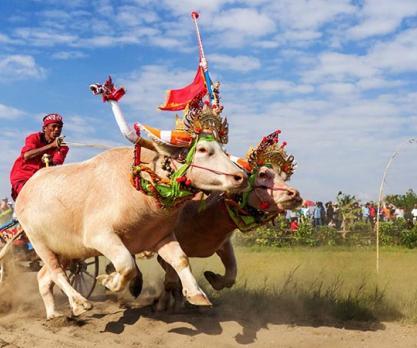 Bull Race in Bali