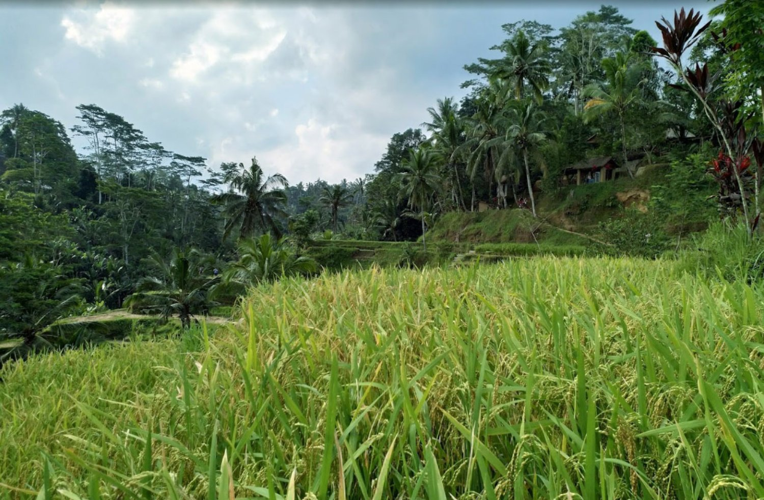 Green Paddy Field in Tegalalang