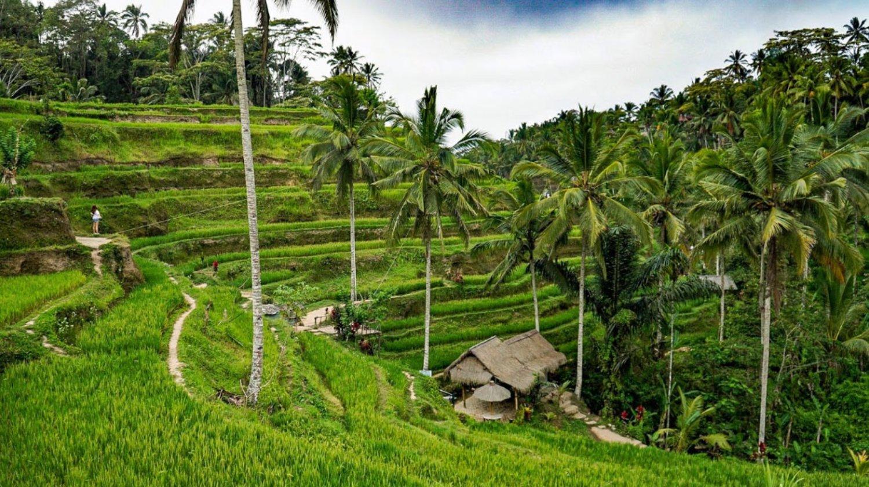 Green Rice Paddies at Tegalalang Rice Terrace