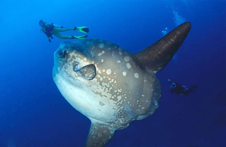 Sunfish at Crystal Bay Beach Nusa Penida